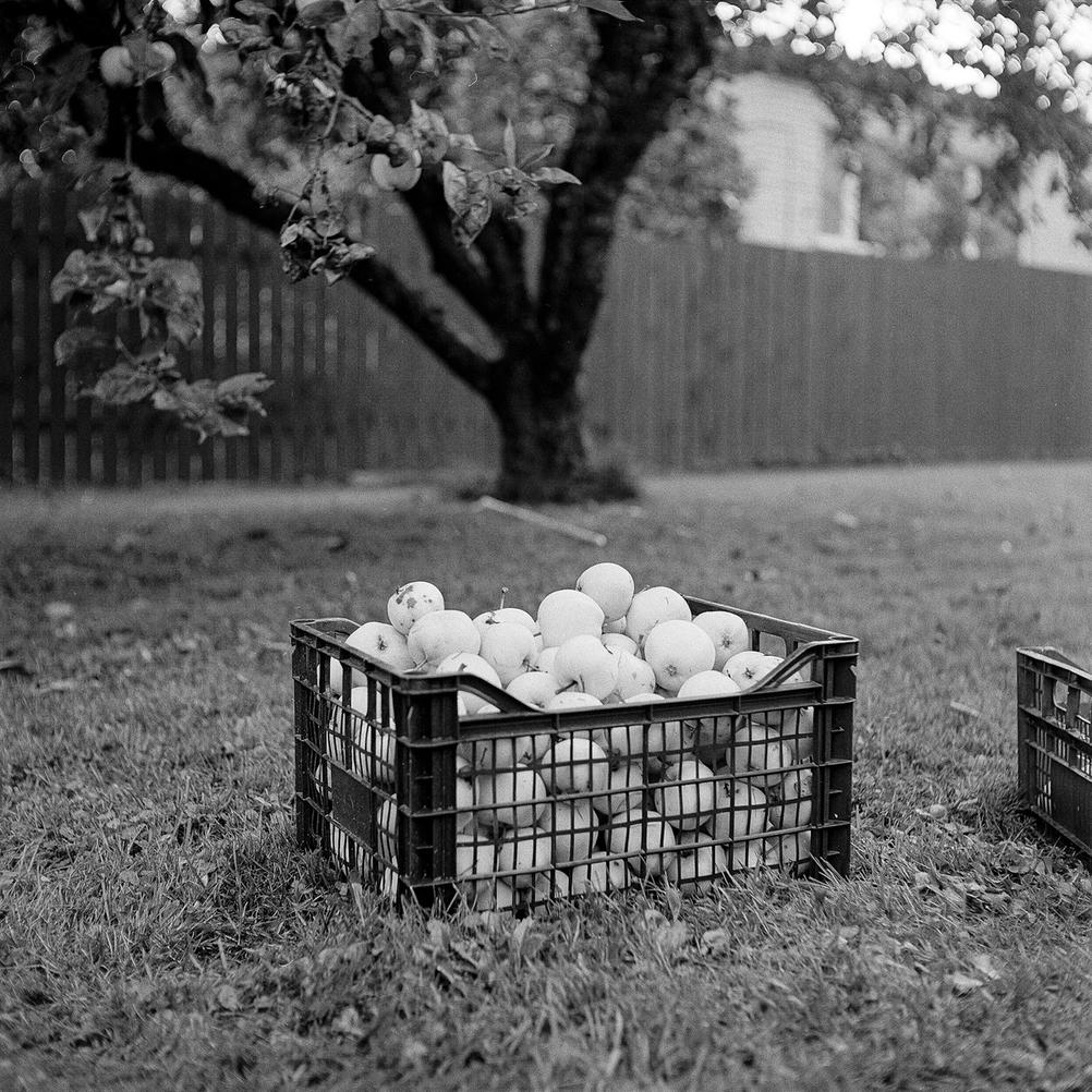 Photo of a basket full of apples under an apple tree.