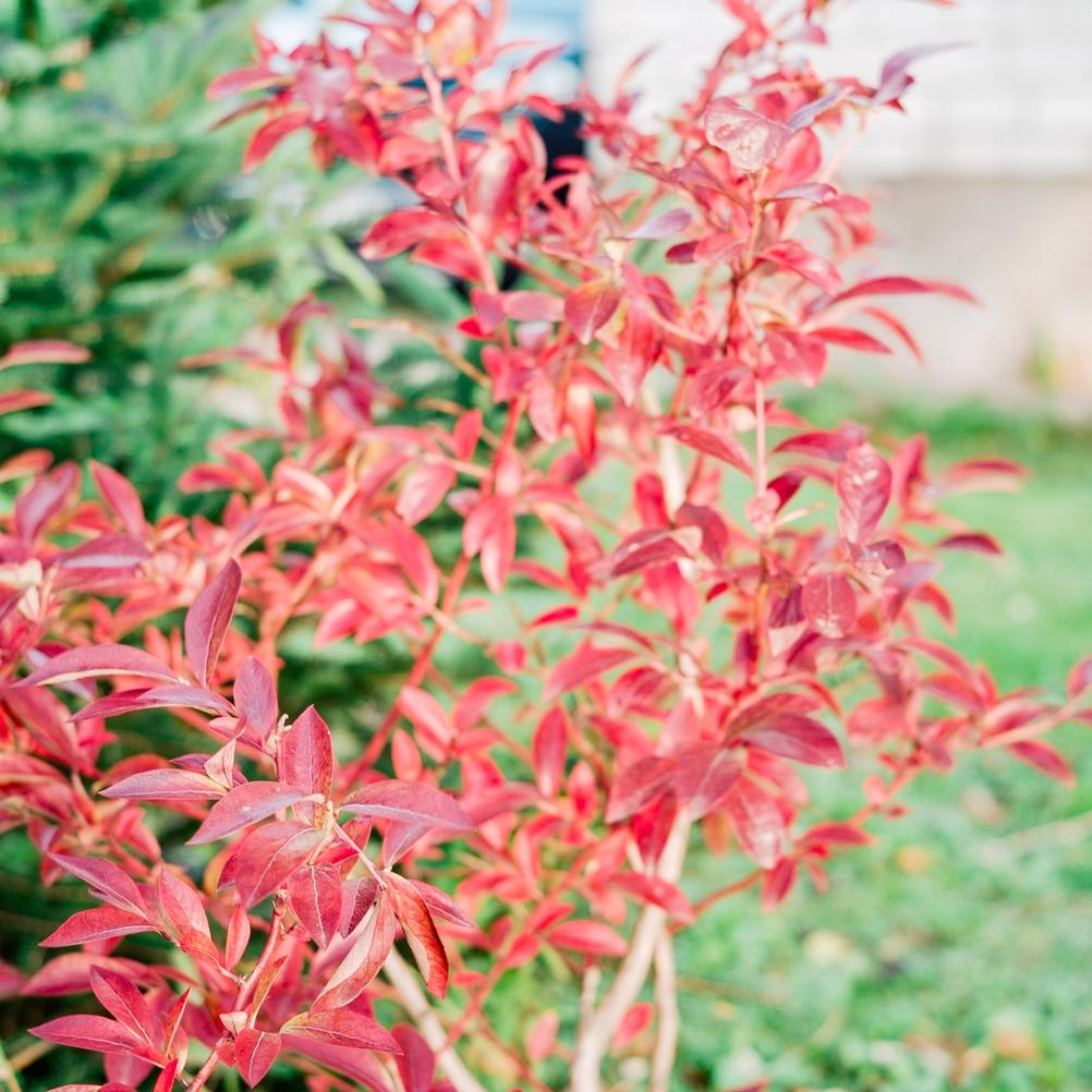 Photo of red leaves.