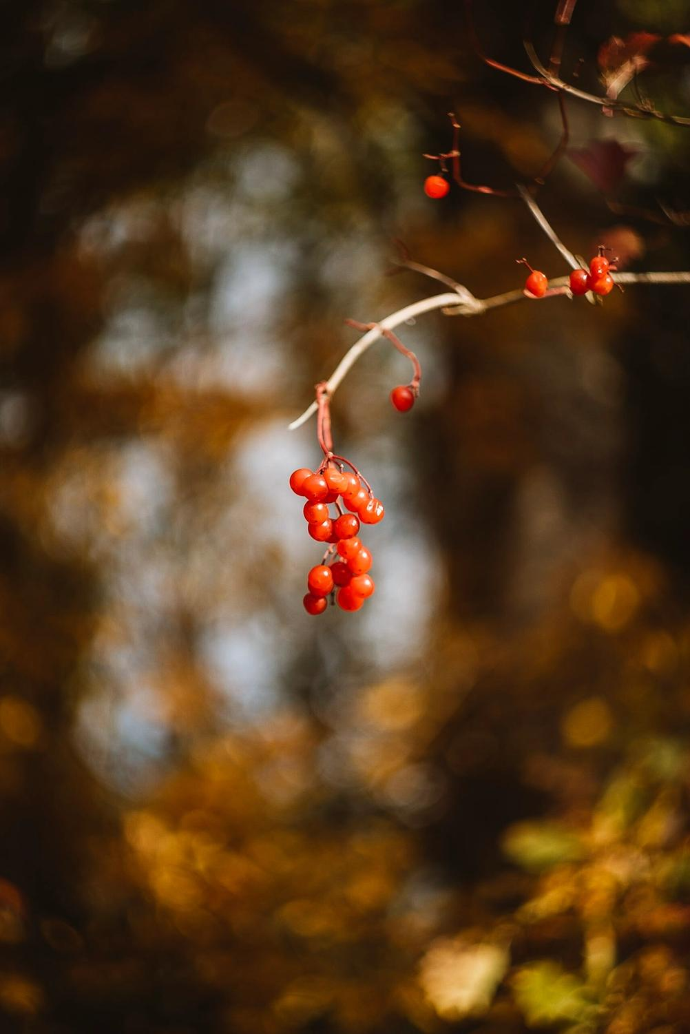Photo of some berries on a branch.