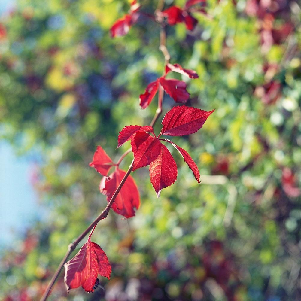 Photo of pure red leaves.