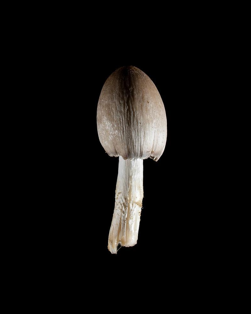 Mushroom: image 36