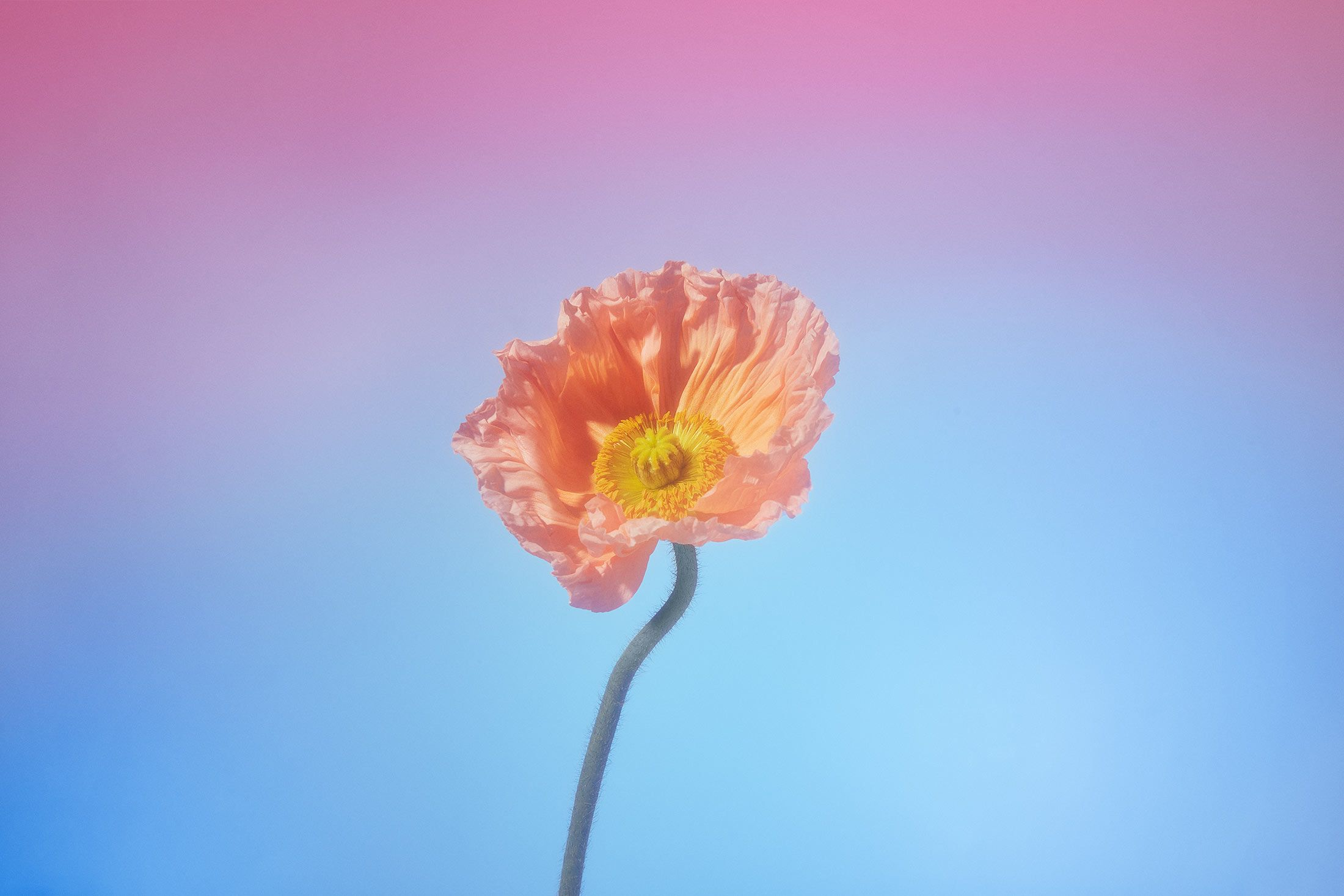 A flower on a gradient background