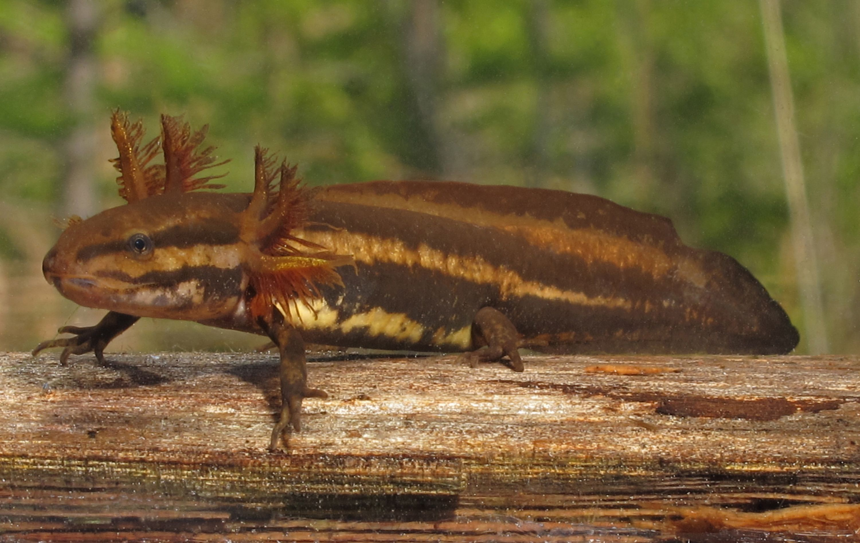 A frosted flatwood salamander in the nymph stage.