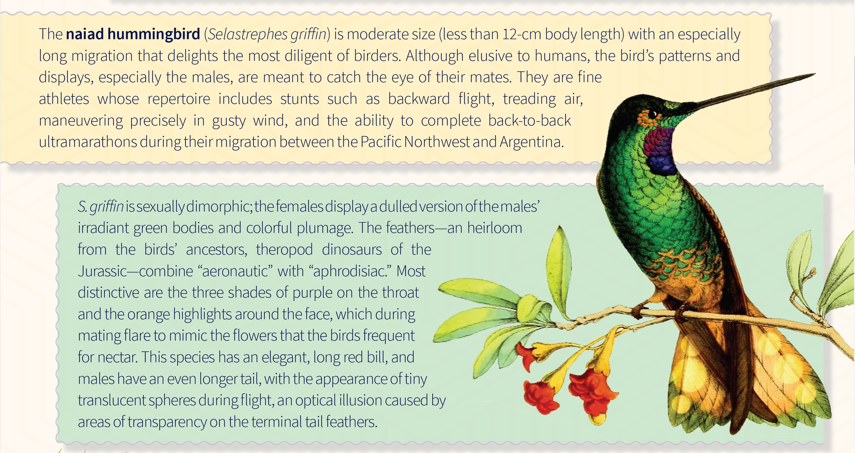 A naiad hummingbird and biological information on this species.