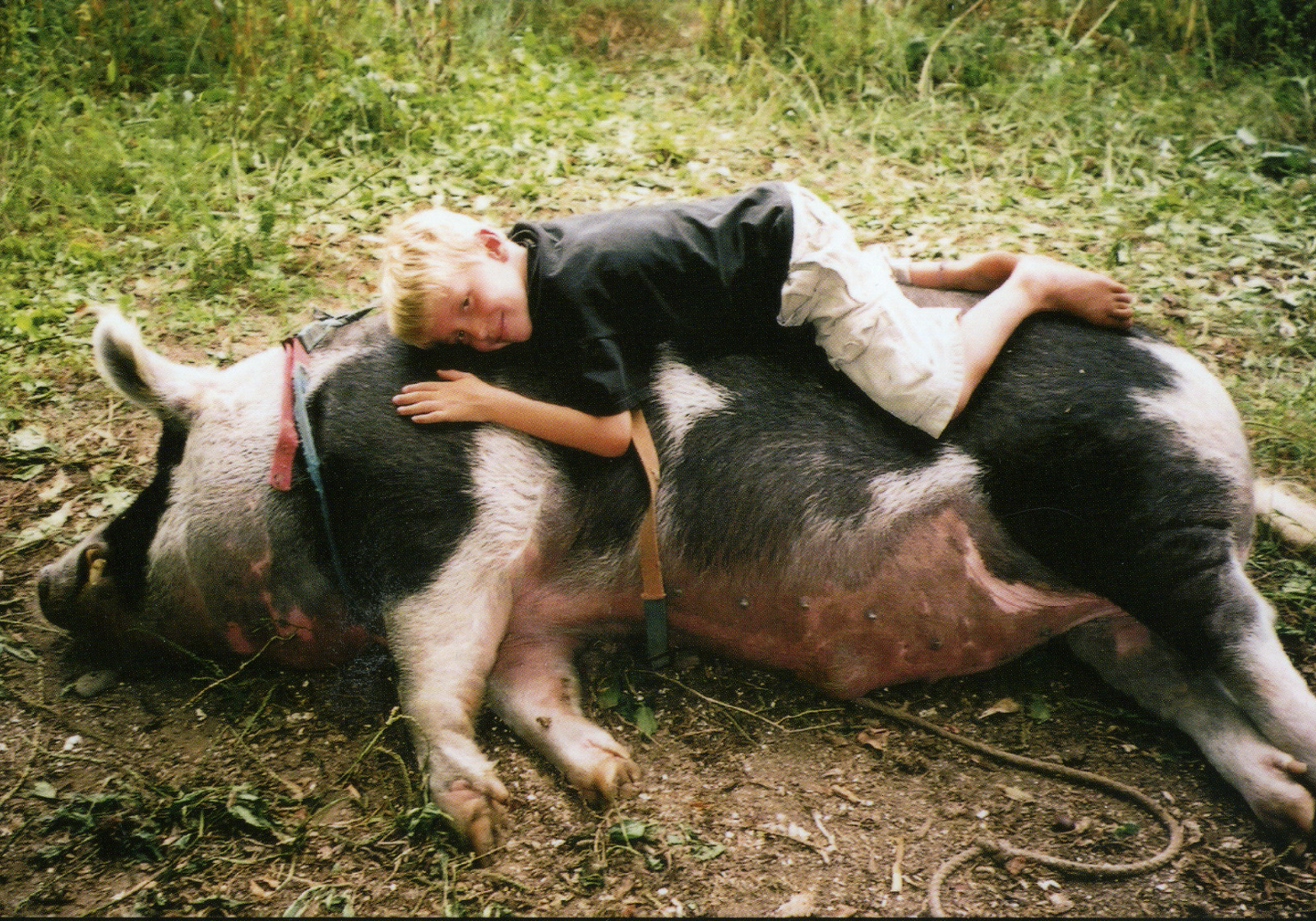 Photo of the pig Mr. Christopher Hogwood who Sy took home as a piglet in a shoebox and who grew to be 750 lbs.