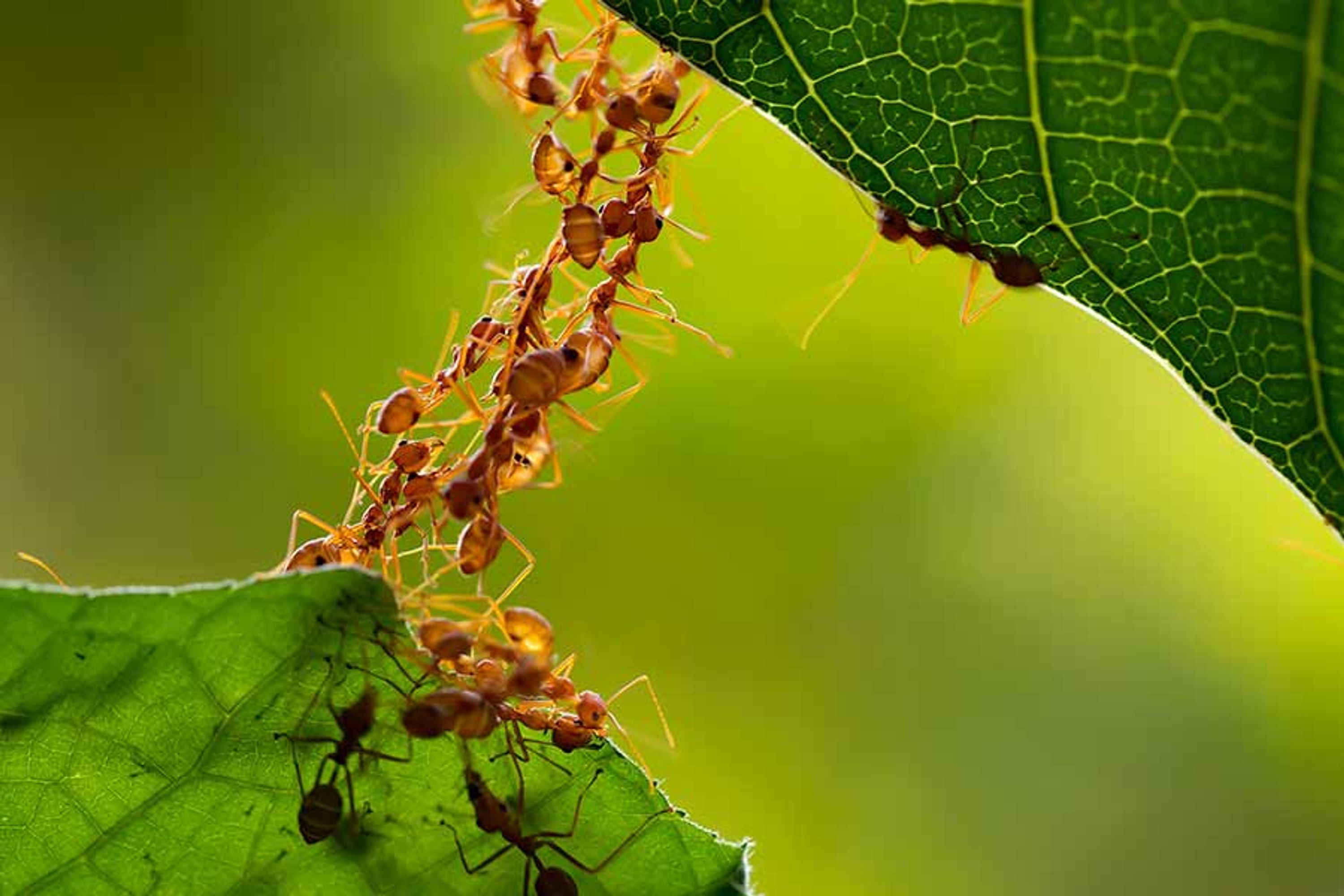 ants looking like a collective organism moving between two leaves