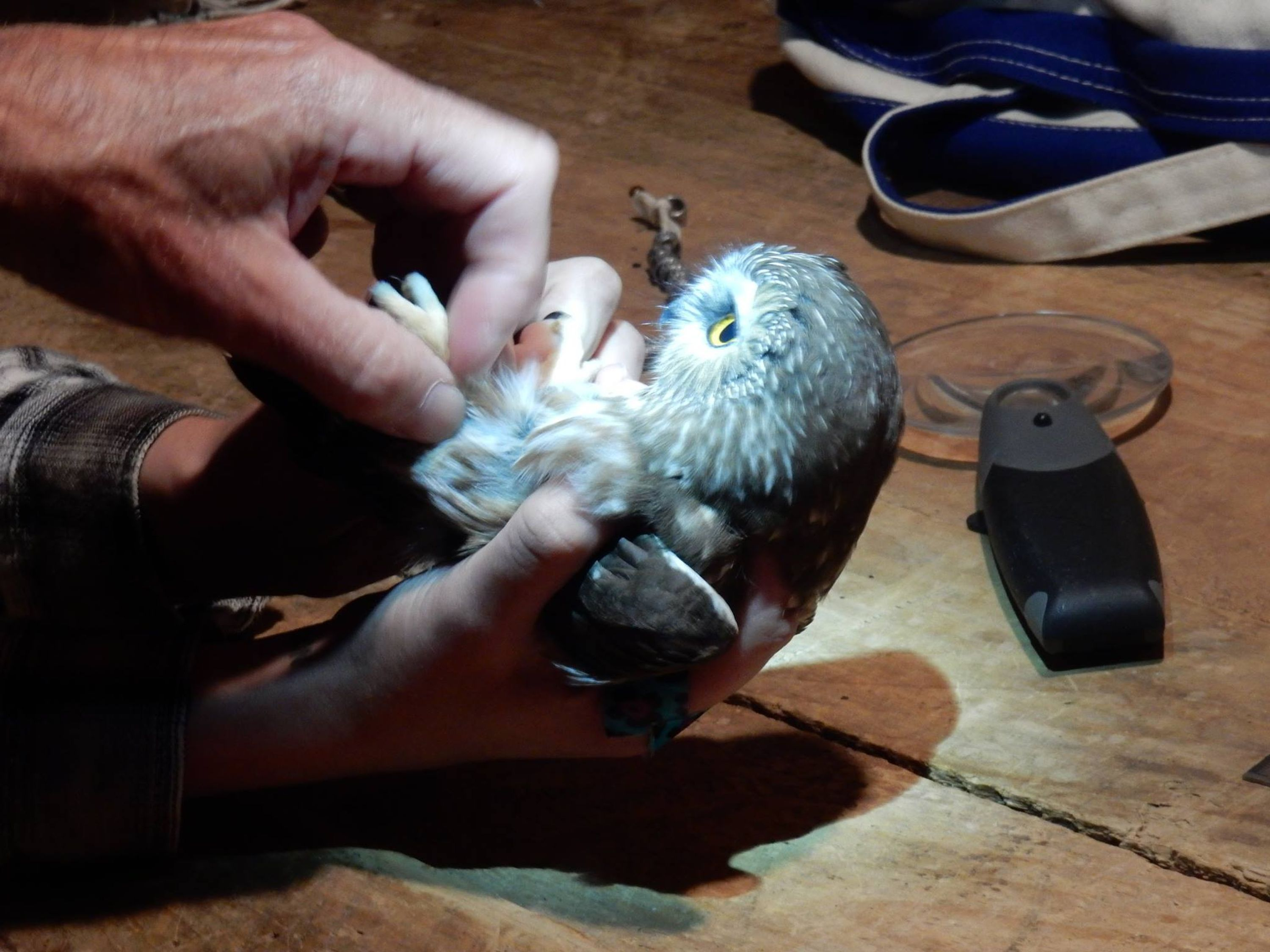 Banding a saw-whet owl.