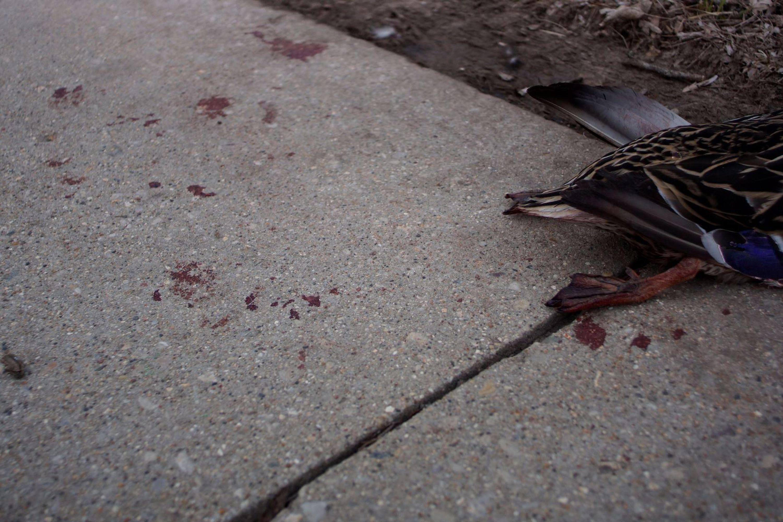 A dead duck on the sidewalk
