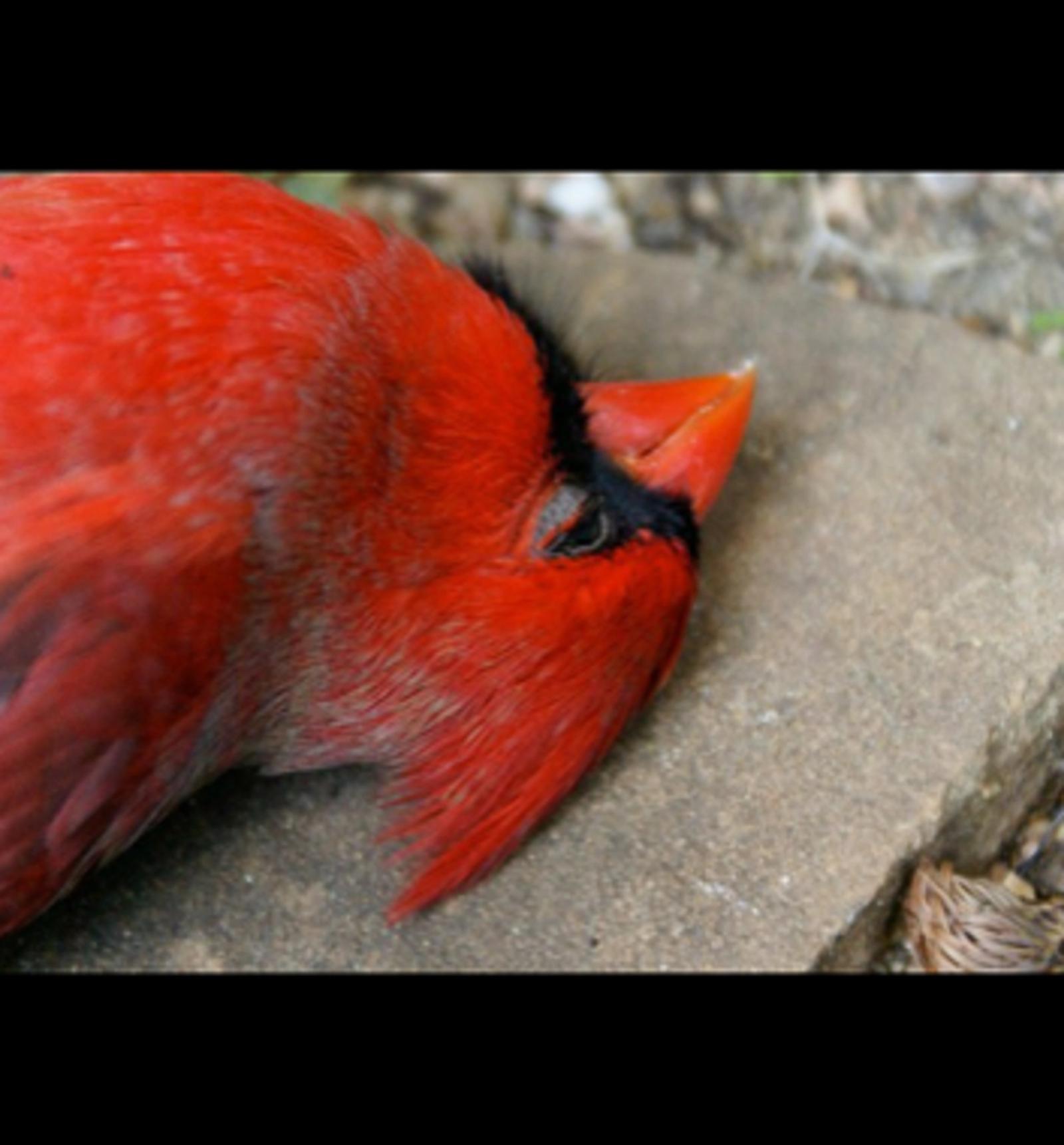 Head of a dead crimson bird.
