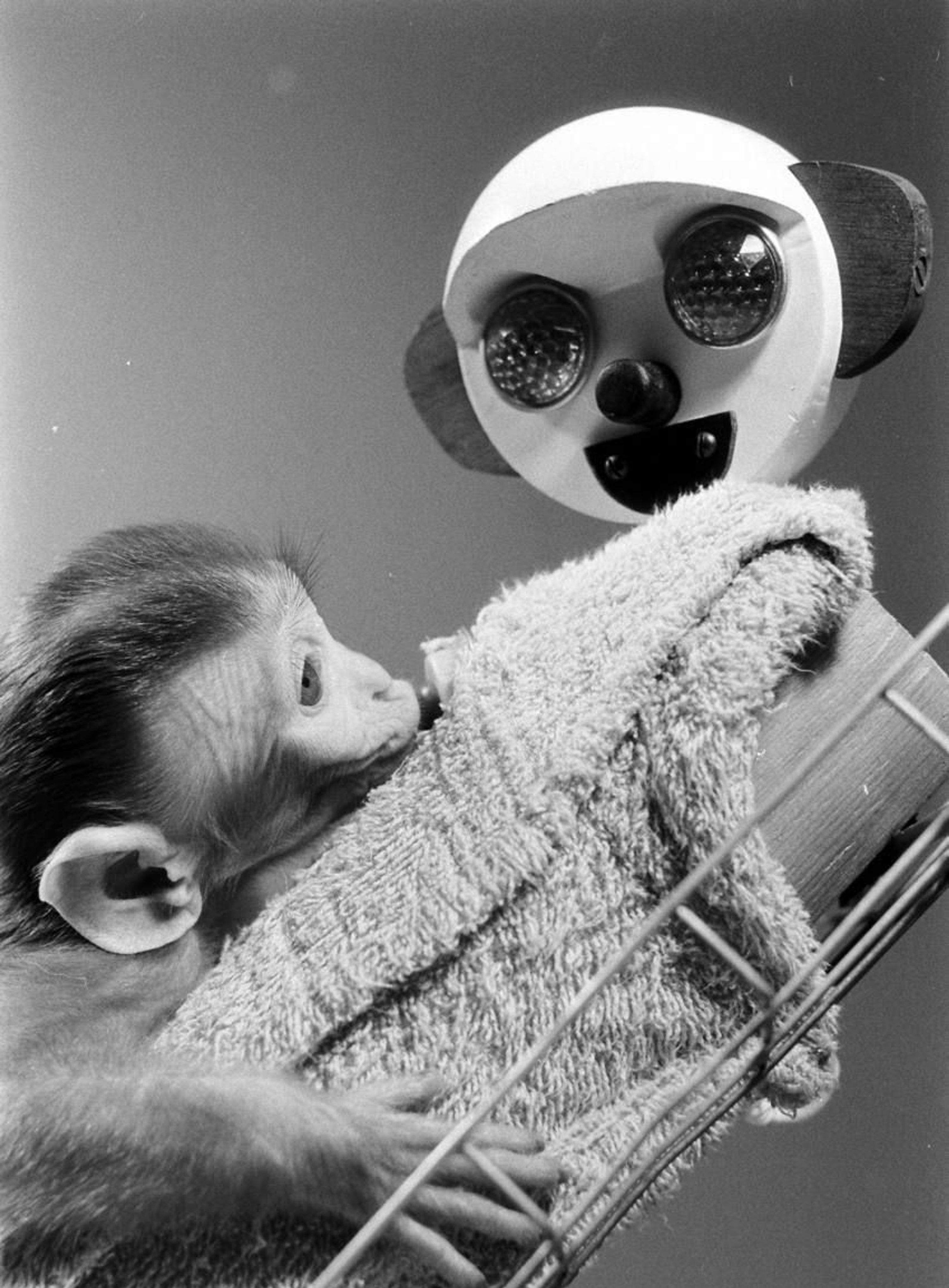 Picture of monkey clinging to a cloth surrogate, from Harlow's experiments.