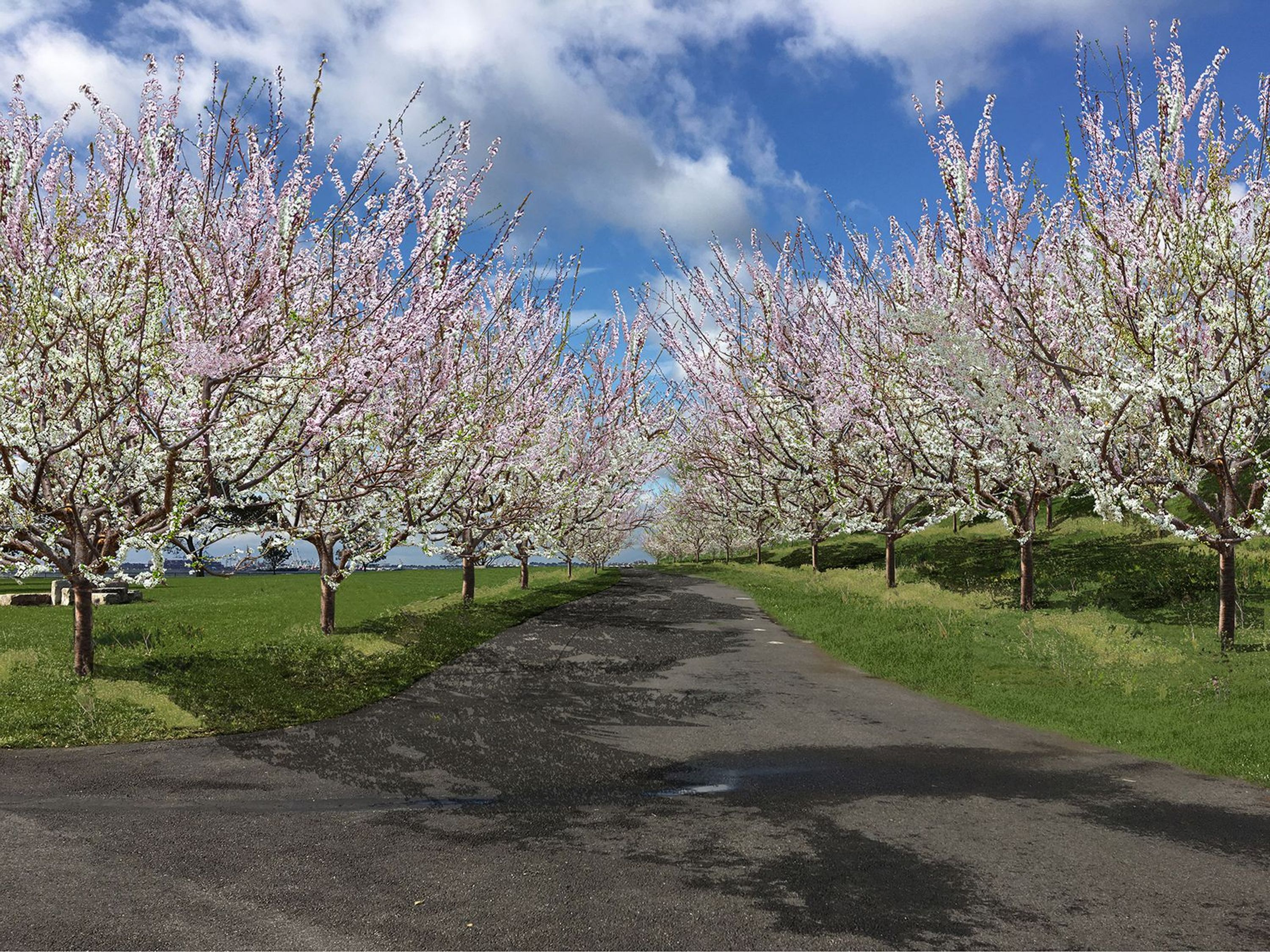 Peach Trees of the Open Orchard Project on Governors Island.