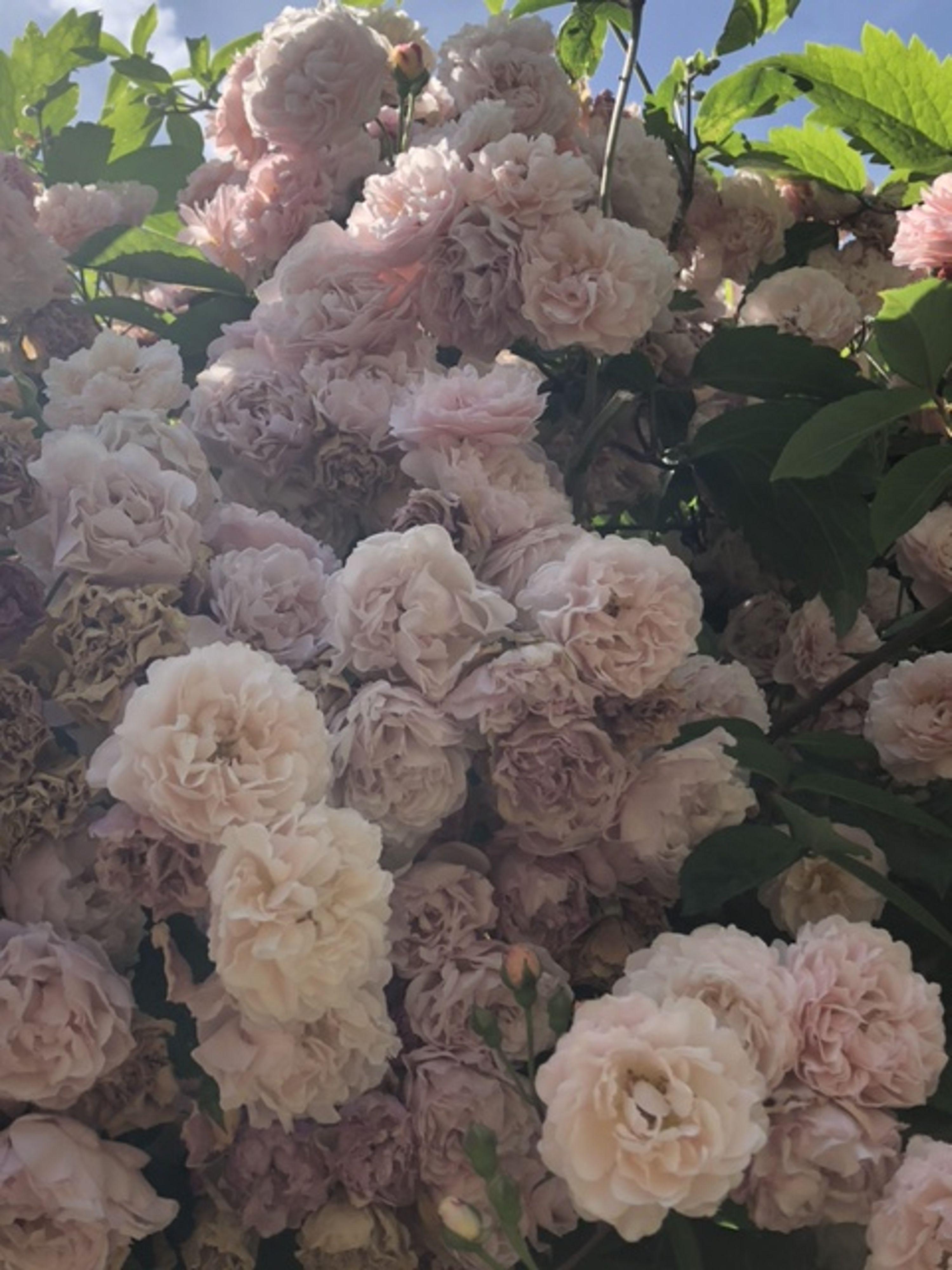 Closeup of pink peonies