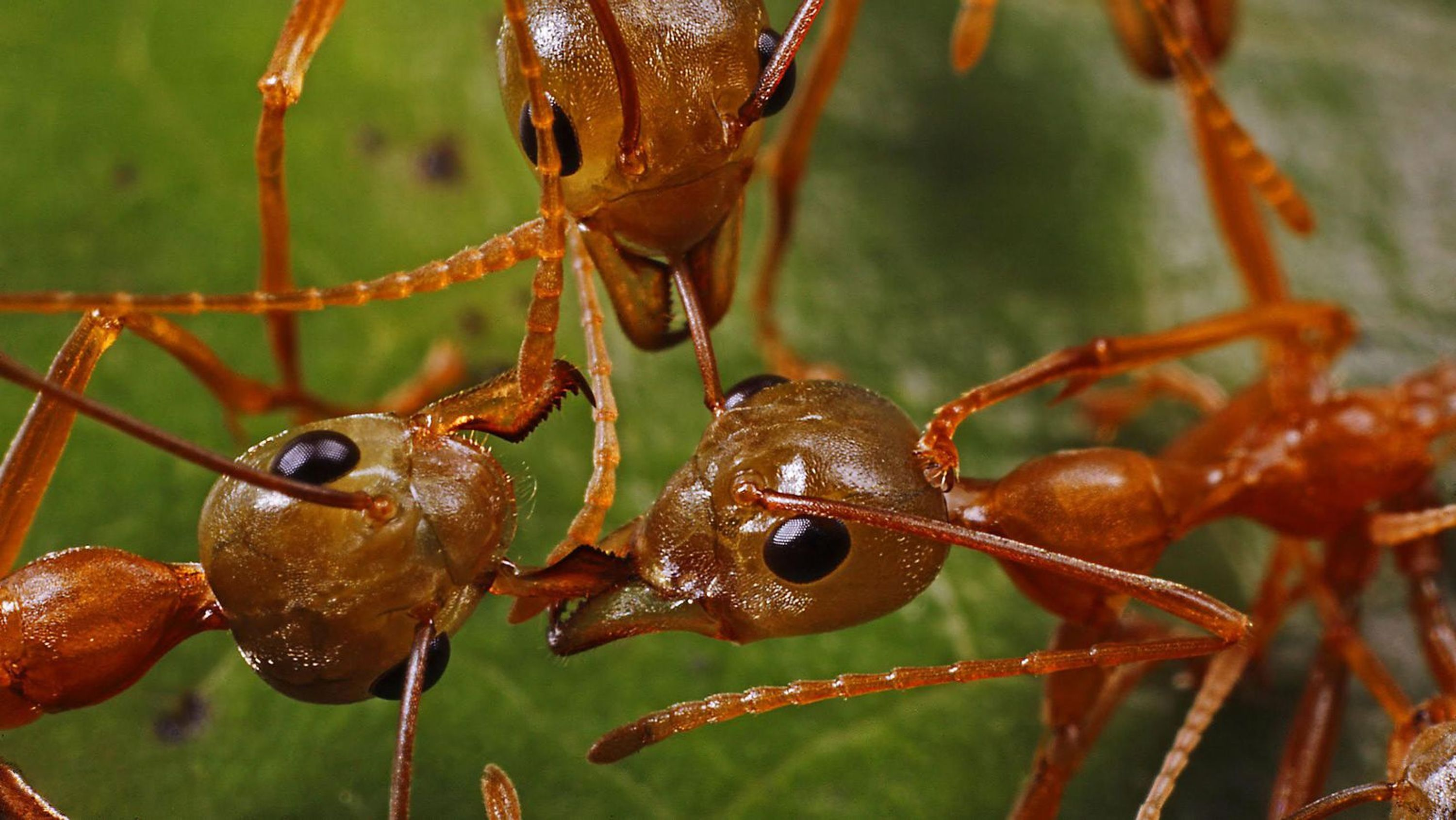 close-up on the heads of a few ants and their antennas