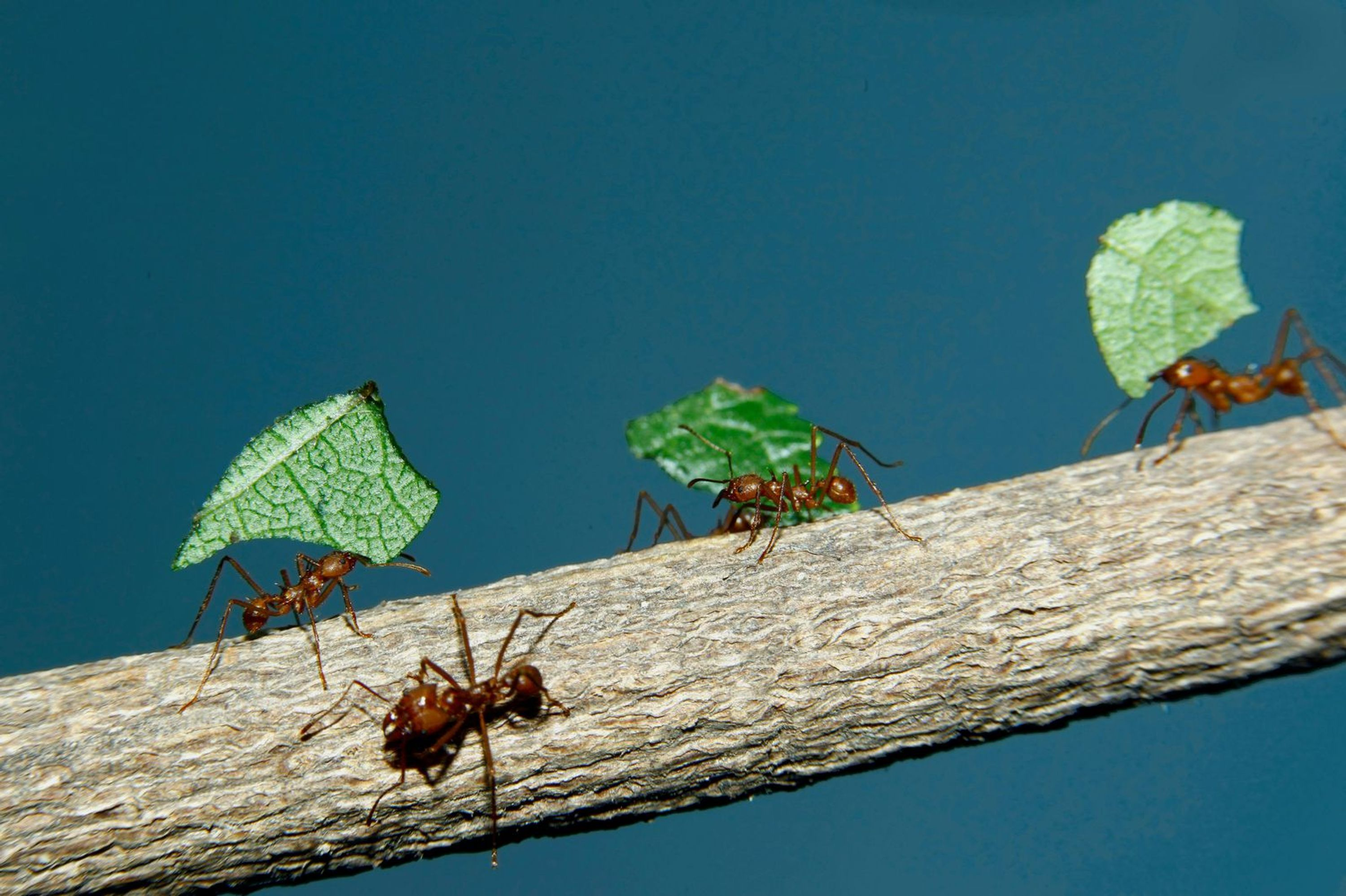 a few ants on a tree branch each carrying their own leaf