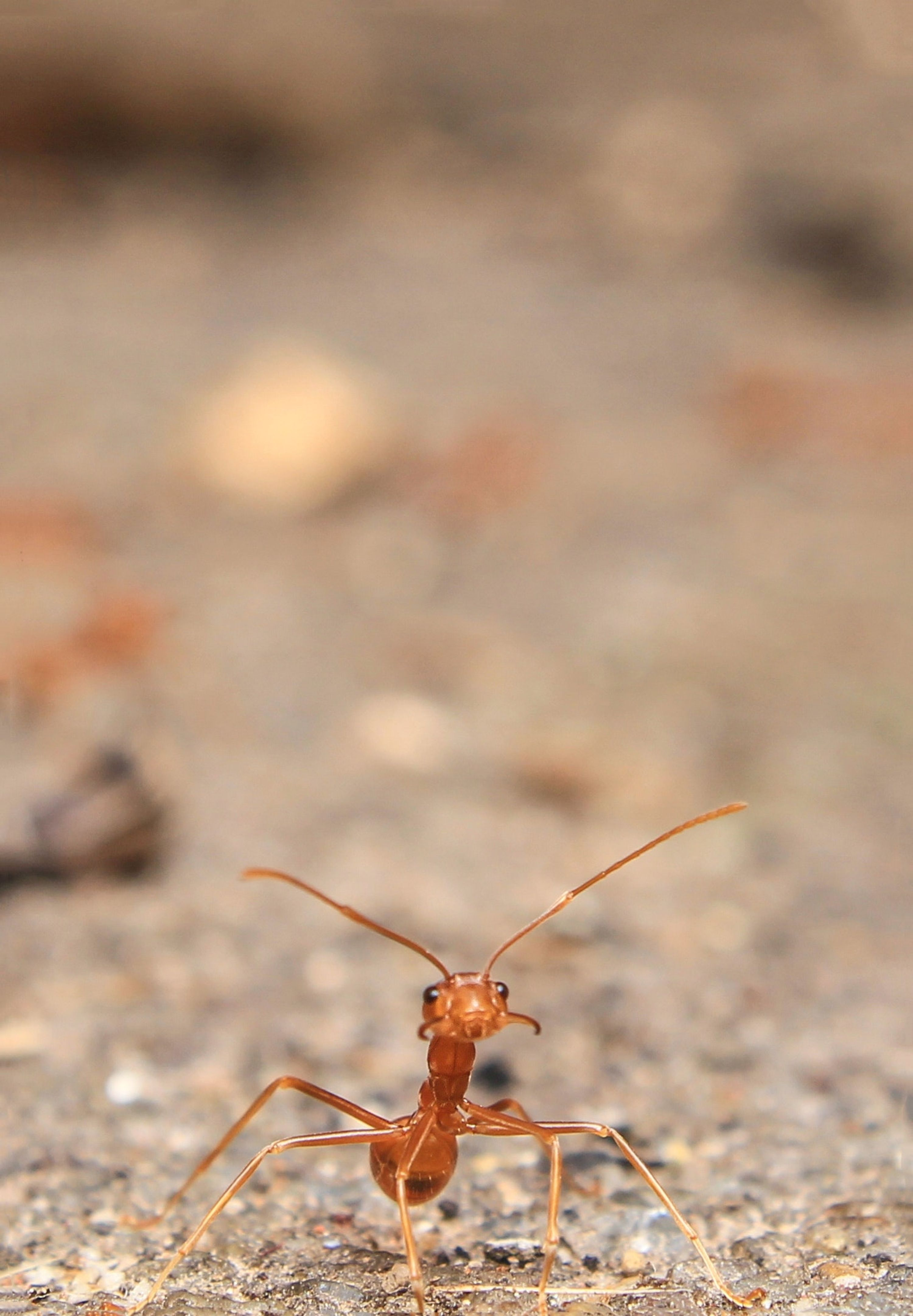 one lone ant appearing curious and docile, gazing up into the camera