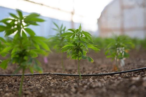 young marijuana plant