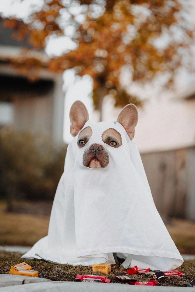 Hund i spøkelseskostyme med godteri strødd rundt seg. Foto