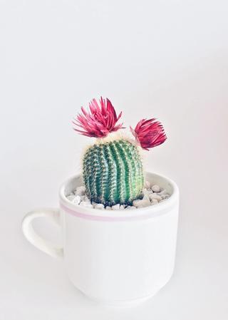 Liten kaktus i kopp. Foto.