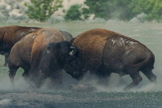 Buffalos som kjemper mot hverandre i kamp. Foto
