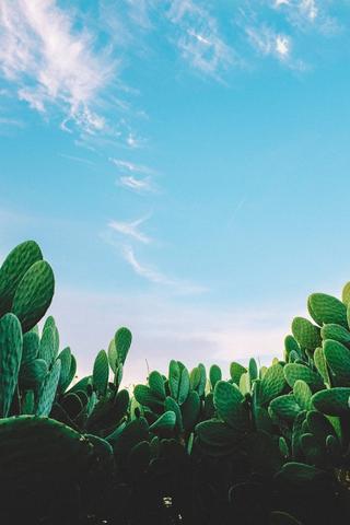Stor kaktusplante. Foto.