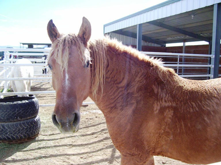 This special breed of horses has been found to be gentle, intelligent, hardy and easy to train.