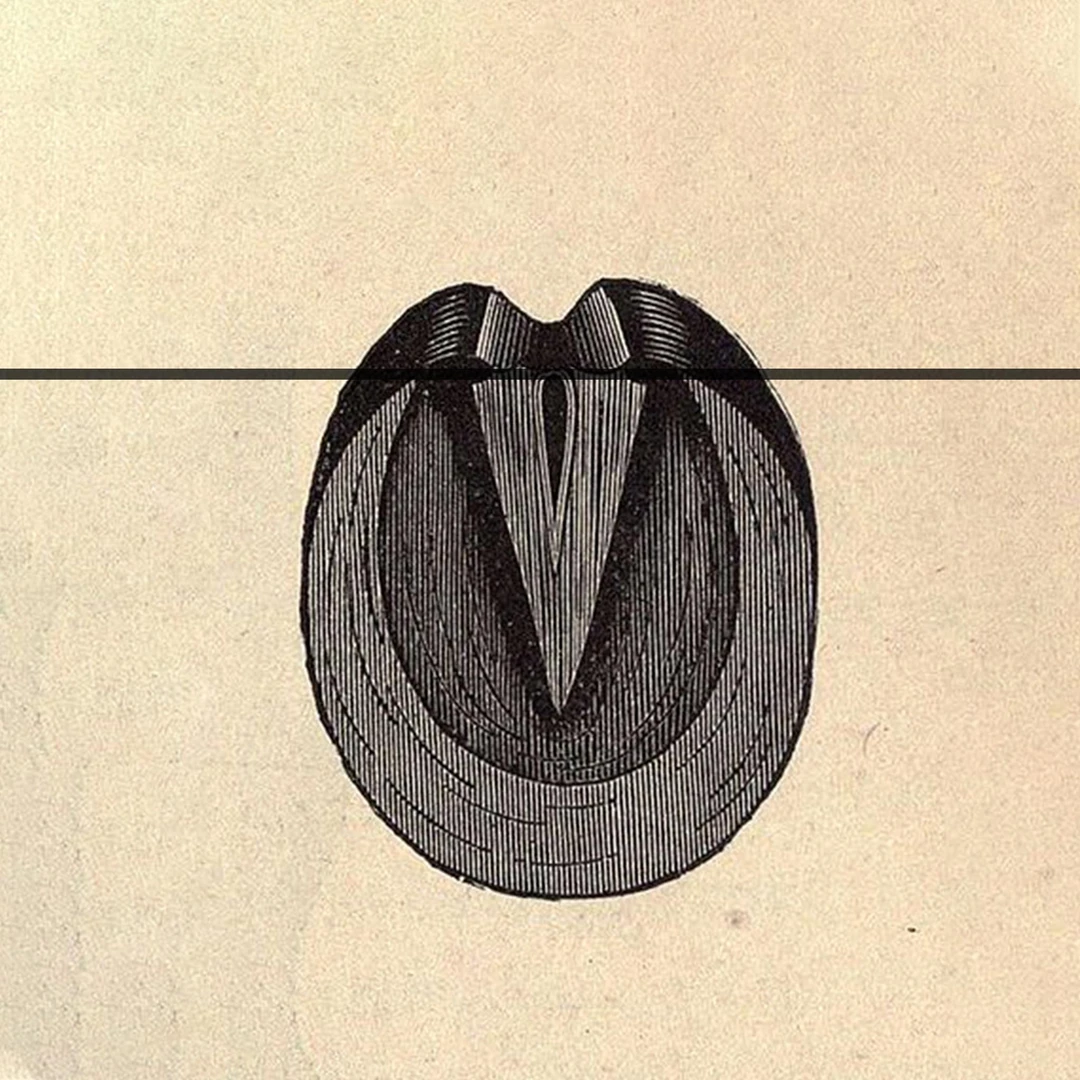 Diagram of a hoof with a line at the buttress.