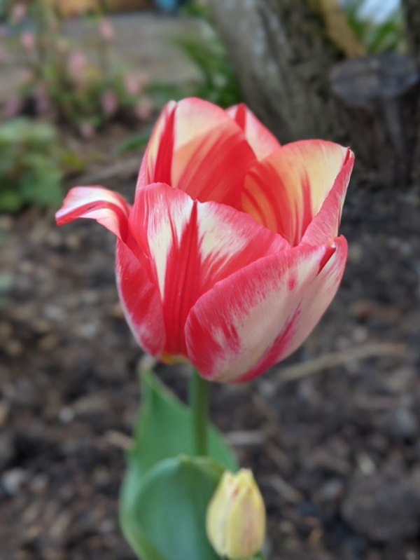 A pink and white tulip sprouting from the garden.