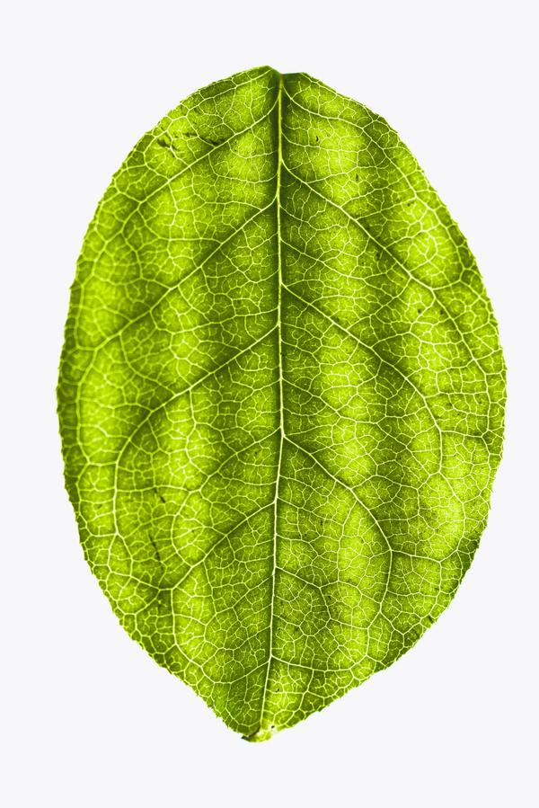 A close up of a leaf with veins highlighted.