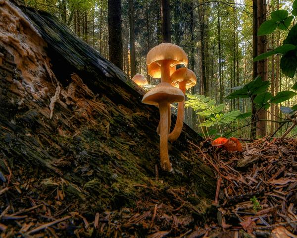 Mushroom on a log on the forest, backlit by sunlight.