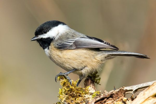 A photo of a black-capped chickadee sitting on a mossy branch