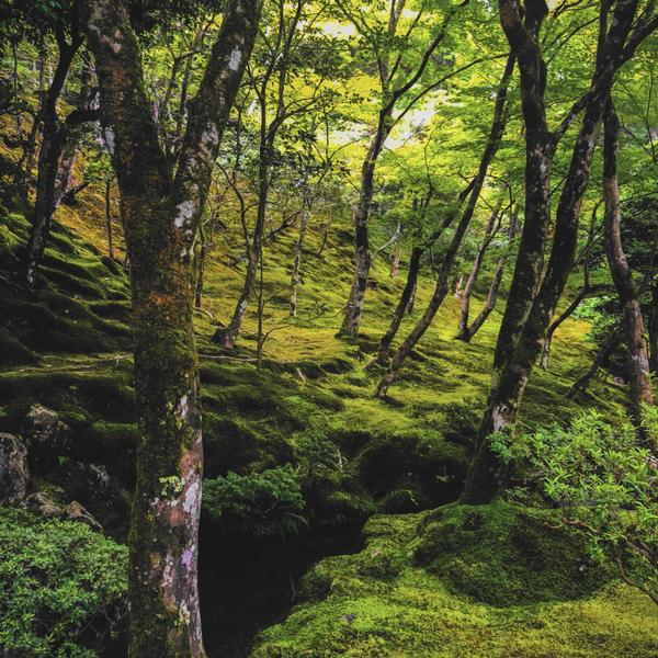 A forest in Japan with dappled lighting and bright green moss covering the stones.