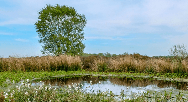 A bog with water, white flowers, and a tree in the distance.