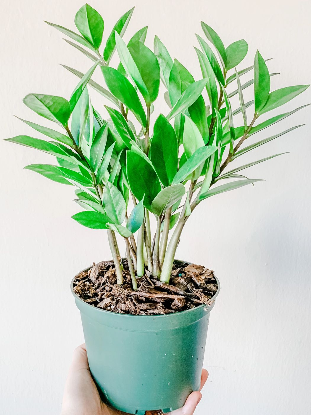 Photo of ZZ plant
