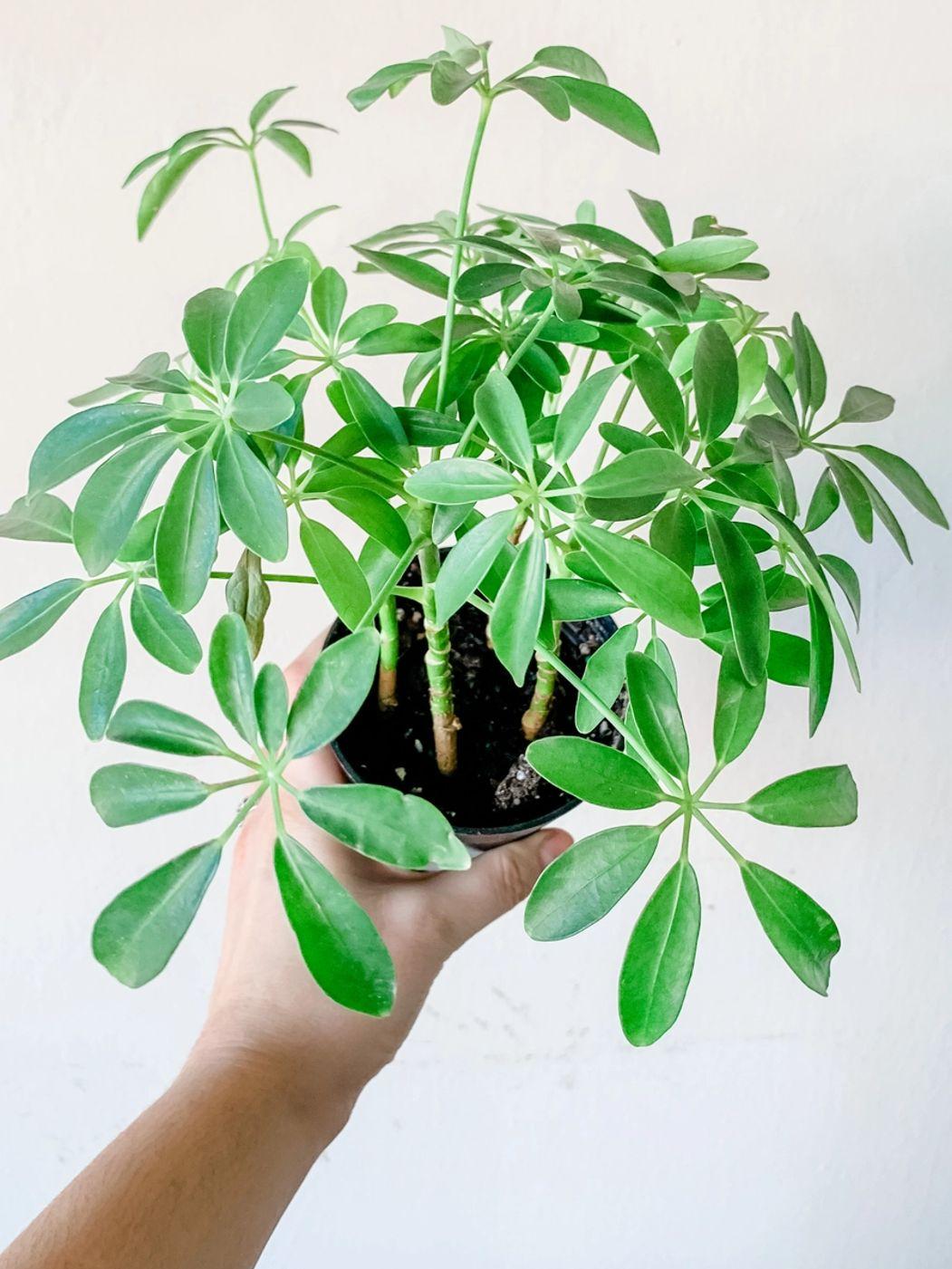 Photo of Umbrella Plant