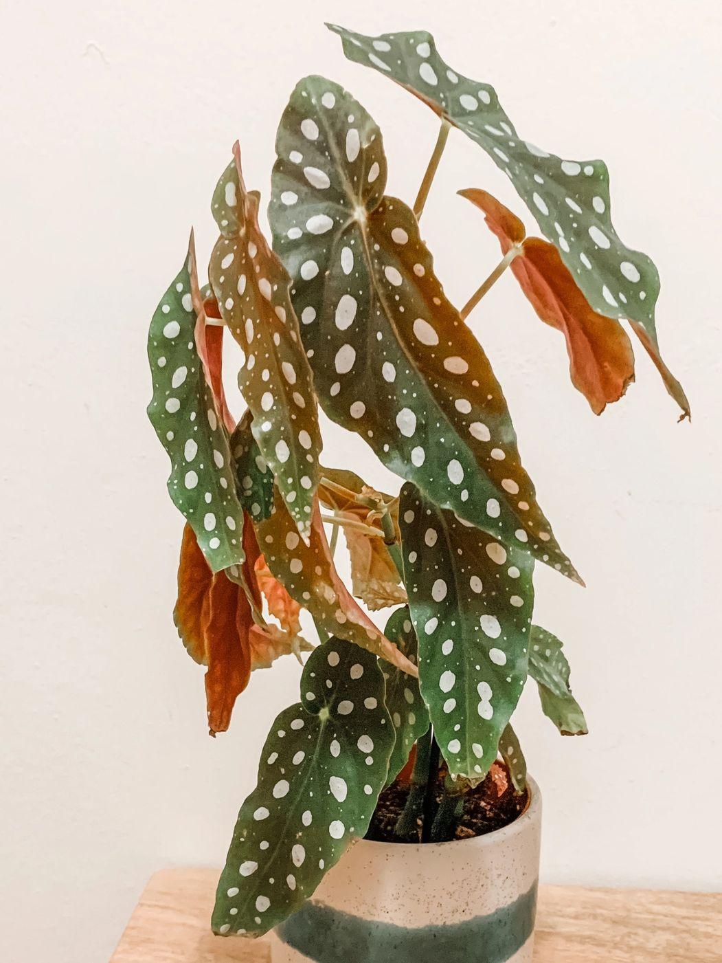 Photo of Begonia Maculata