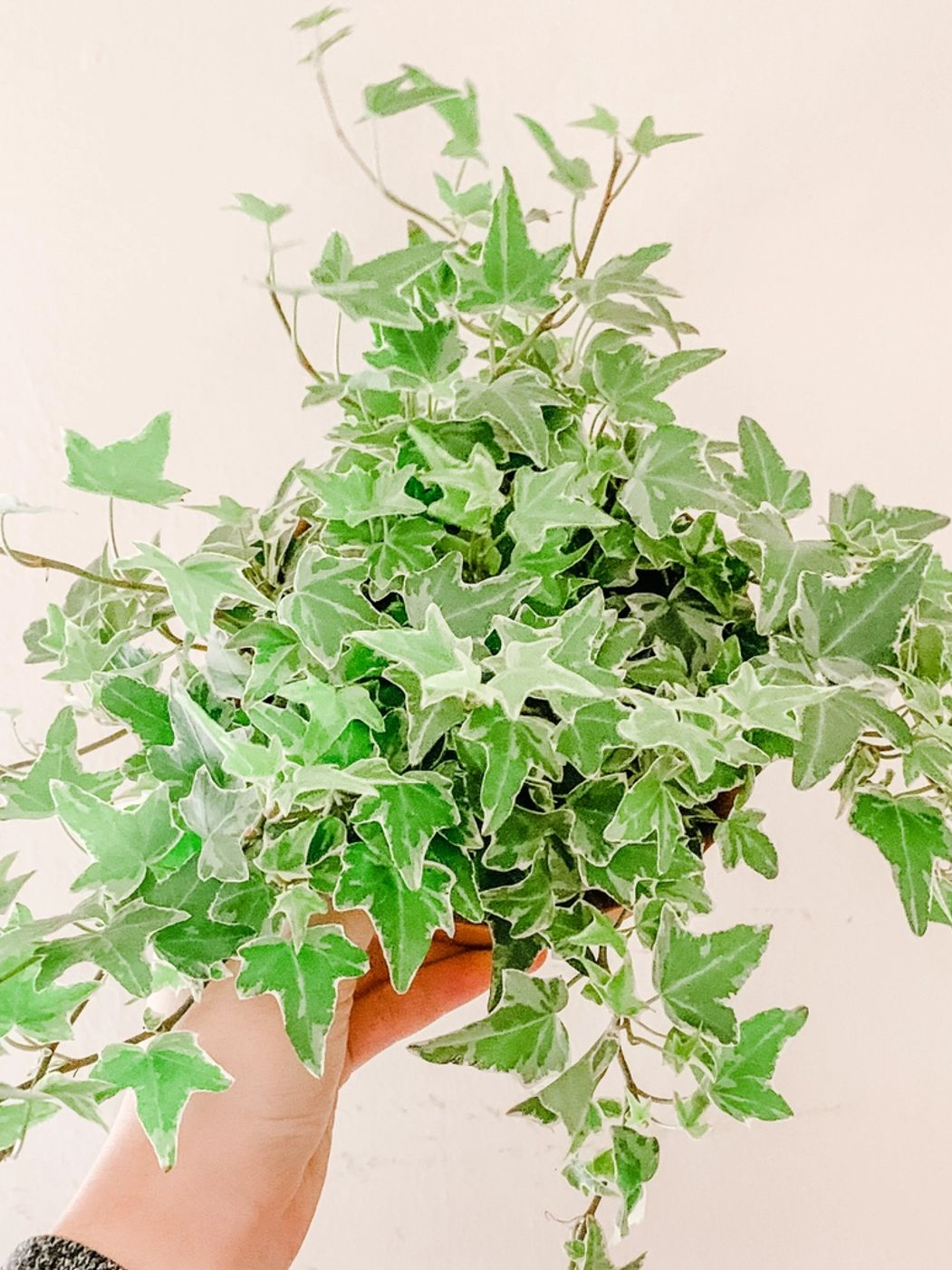 Photo of Variegated Ivy
