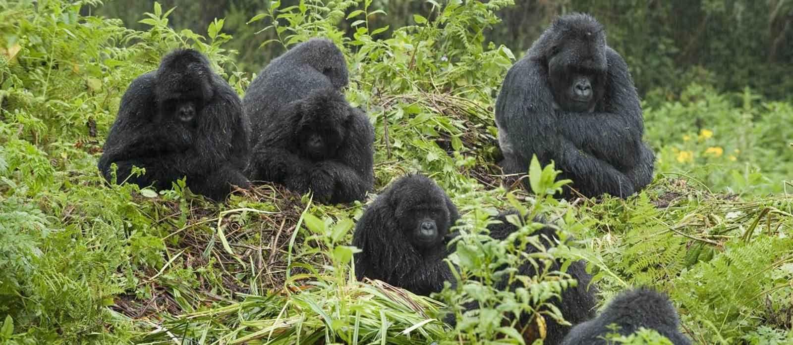 Gorilla's Galore