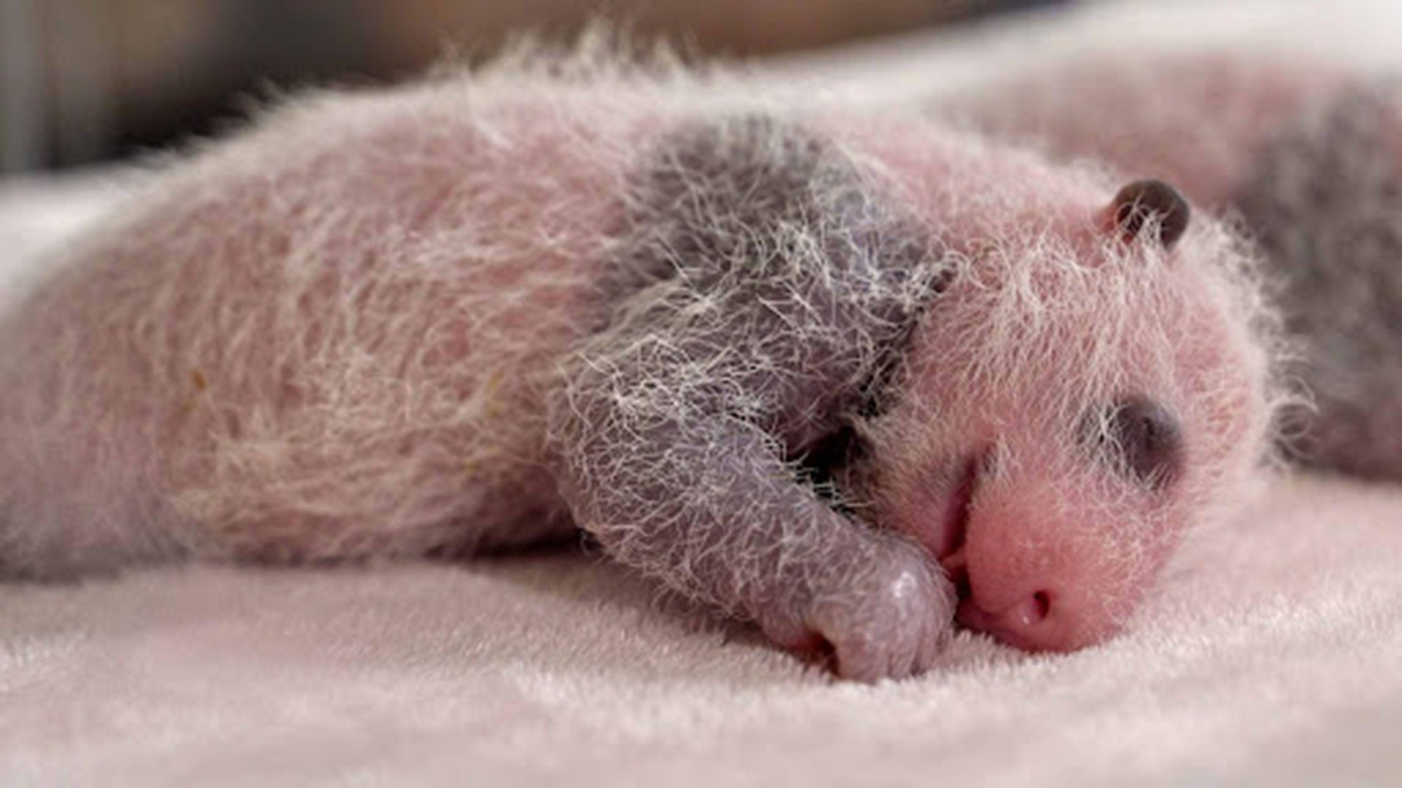Singapore zoo breeds first panda cub photo fromm sharjah24