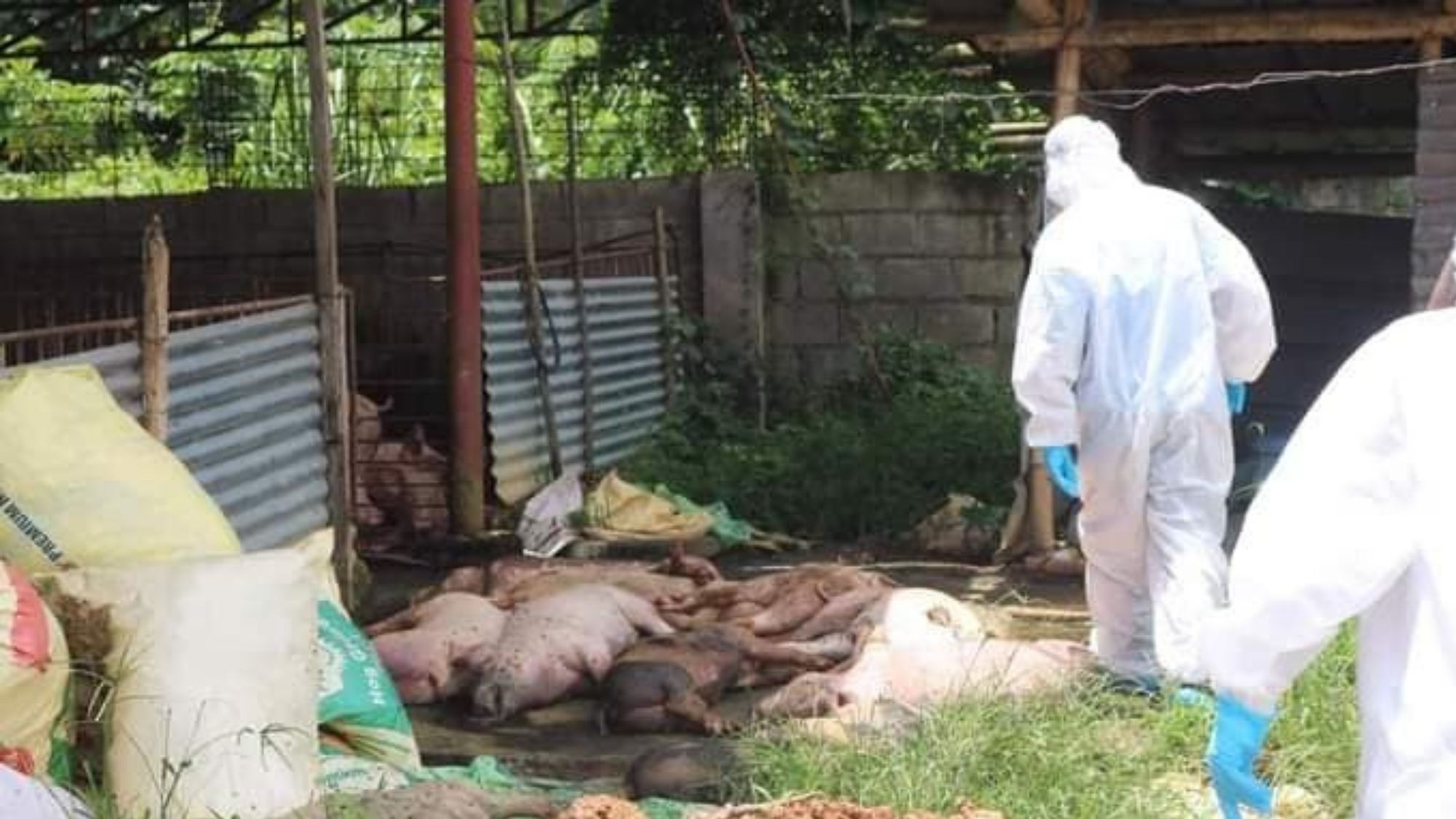 Over a 100 hogs in Kananga culled due to ASF photo from Philippine Star