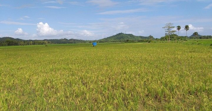 Leyte maintains lead in rice production in EV