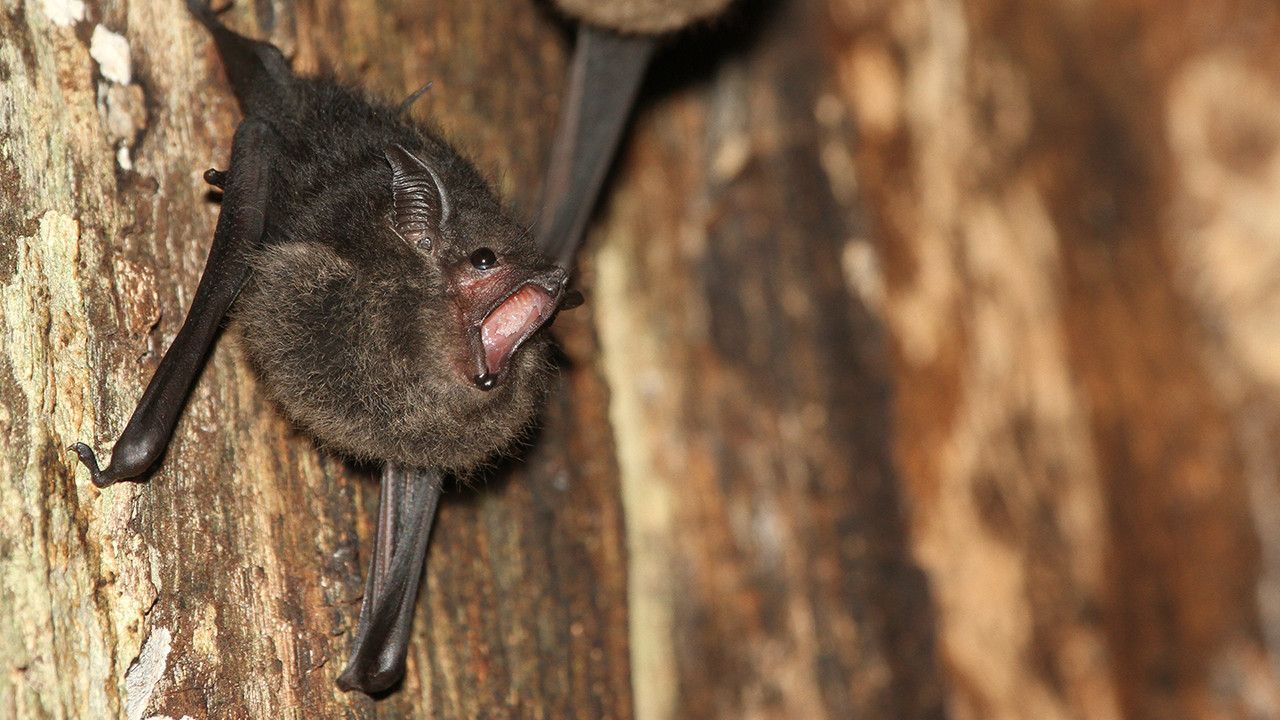 Scientists find that some baby bats babble like human infants photo from ScienceMag