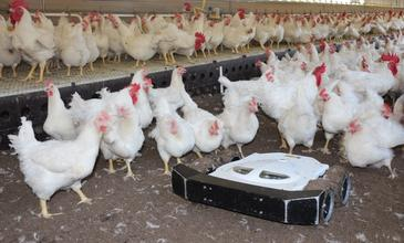 Robotics addresses poultry production issues