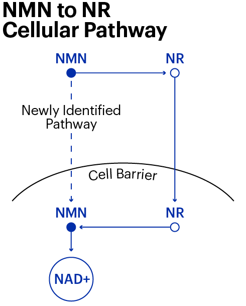 Nmn Pathways Graph2